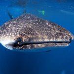 whale shar cancun